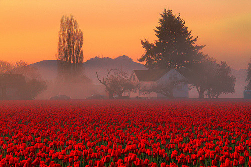 Foggy Tulip Field, Skagit Valley, Washington