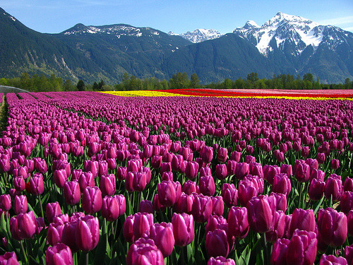 Purple Tulips, British Columbia, Canada