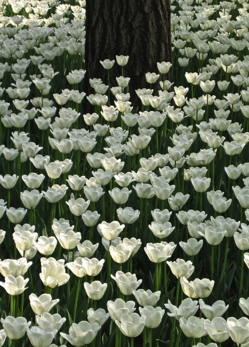White Tulip Forest, China