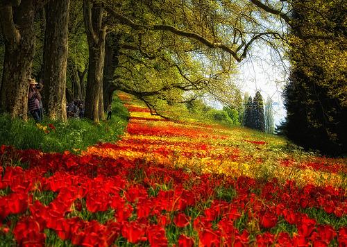Red Petal Meadow, Mainau, Germany