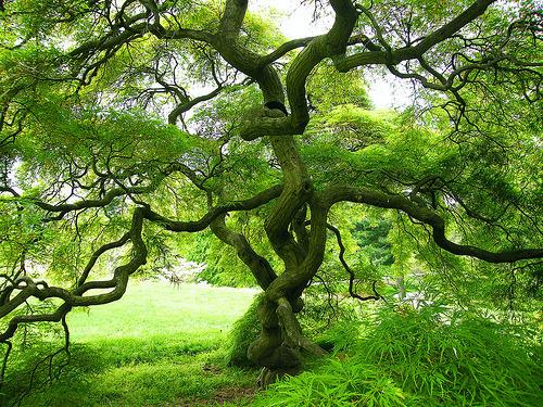 Spider Tree, Japan
