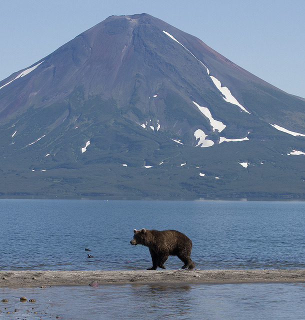 Brown bear walking in front of the volcano at Kurilskoye lake, Kamchatka, Russia