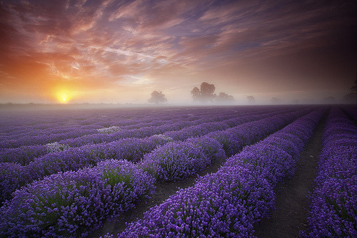 Lavender Sunrise, Somerset, England