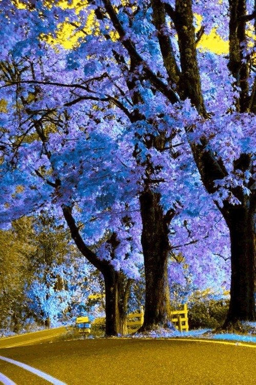 Royal Empress Tree, Massachusetts