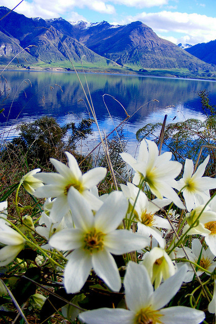 Wildflowers growing on the shores of Lake Wakatipu, near Queenstown, New Zealand . This one is for Sam ;)