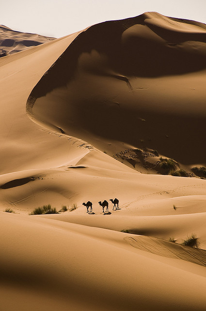 Camels in the Sahara desert near Merzouga, Morocco