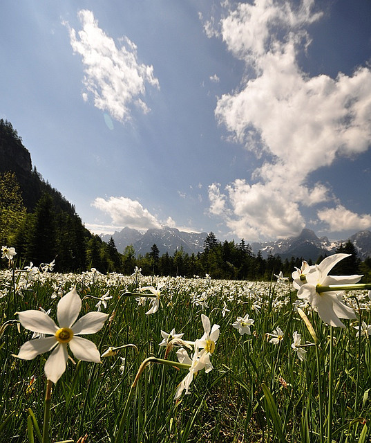Daffodil fields in Almtal Valley, Salzkammergut, Austria