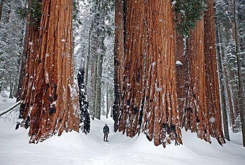 Snow Sequoias, California