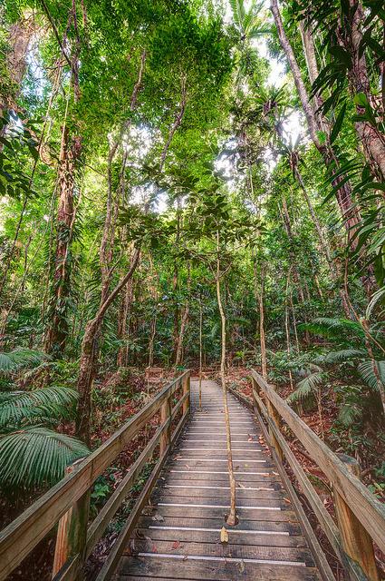 Path through a mangrove swamp in Daintree National Park / Australia